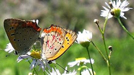 Mariposas hembras cierran alas para evitar a machos indeseados