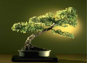 El embajador de Japón inaugura hoy el I Concurso nacional de bonsái en la ciudad